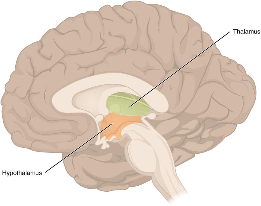 hipotalamusz és talamusz helye az agyban